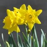 Daffodils_Closeup_2014